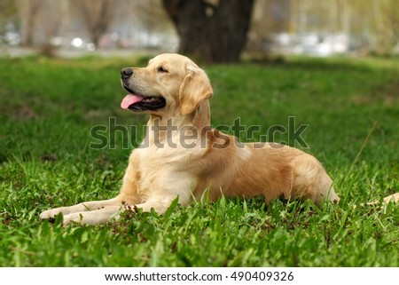 happy dog Golden Retriever lying on the grass