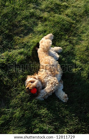happy dog in grass with red ball - stock photo