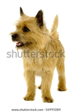 Happy dog is standing on a white background. The breed of the dog is a Cairn Terrier. - stock photo