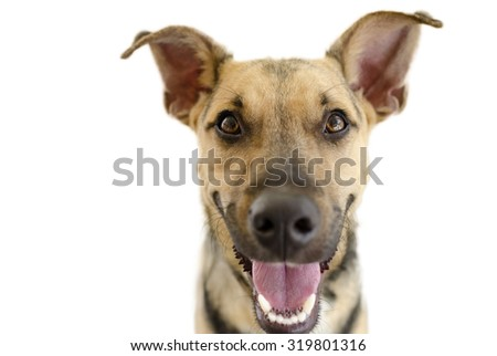 Happy dog isolated on white is a cute funny enthusiastic German Shepherd with a great big happy smile on his face.