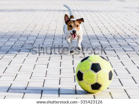 Happy dog playing with a ball at park. Jack Russell Terrier running down a alley - stock photo