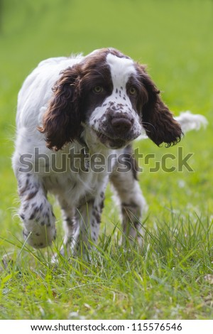 Happy dog running - stock photo
