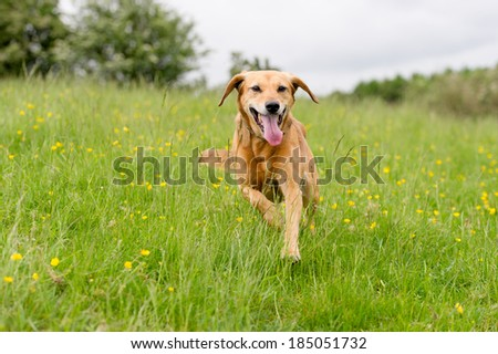 Happy dogs having fun in a field of springtime buttercups in the UK