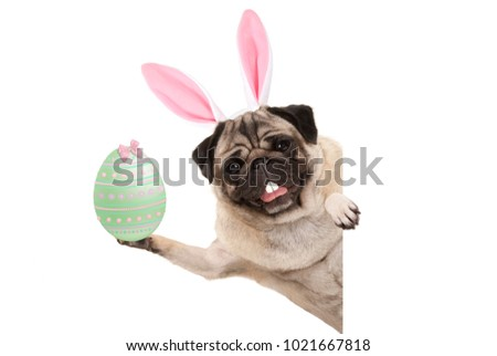 Happy Easter pug dog with bunny teeth and pastel green easter egg, isolated on white background