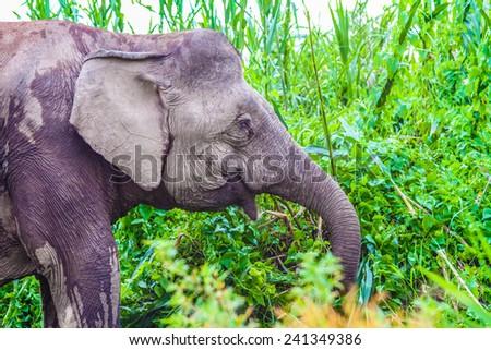 Happy Elephant in the lush green Jungle - Kinabatangan safari, Borneo, Malaysia, Asia - stock photo