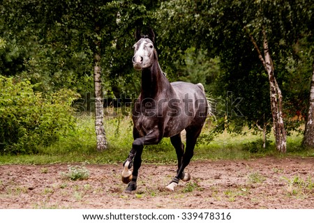 Happy energetic gray horse running free in summer - stock photo
