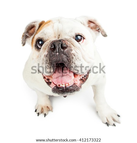 Happy English Bulldog looking up. Isolated on white.