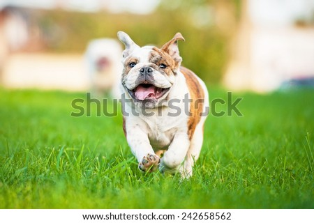 Happy english bulldog puppy running on the lawn - stock photo