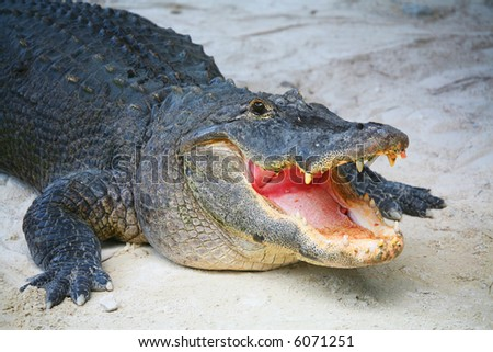 Happy Face of a Huge Salt Water Crocodile - Everglade Miami FL - stock photo
