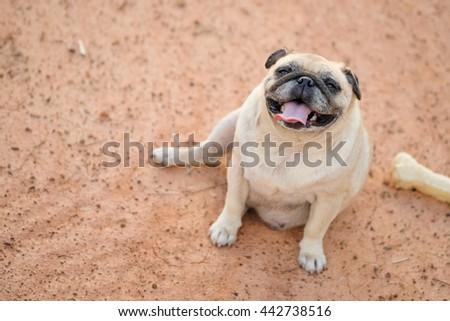 Happy face of pug dog.(Fawn pug dog sitting on ground.) - stock photo