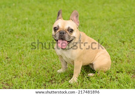 Happy French Bulldog on the green grass  - stock photo
