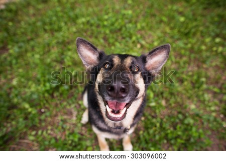 Happy German Shepherd Close Up with Silly Face - stock photo
