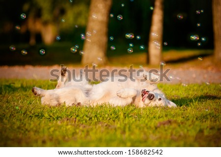 happy golden retriever dog rolling on grass - stock photo