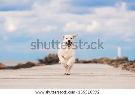 happy golden retriever dog running - stock photo