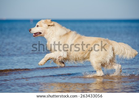 happy golden retriever dog running into water - stock photo