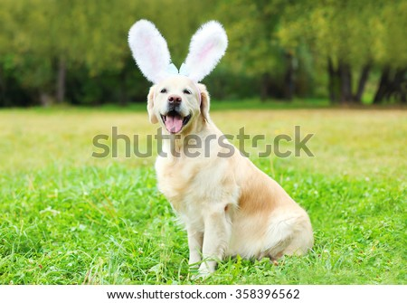 Happy Golden Retriever dog with rabbit ears sitting on grass in spring day  - stock photo