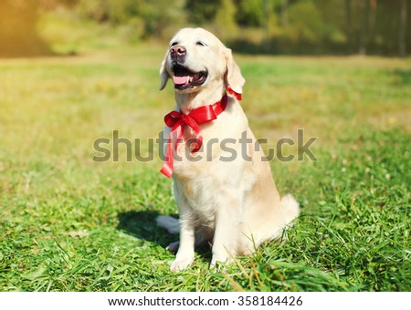 Happy Golden Retriever dog with red bow sitting on grass in sunny summer day - stock photo