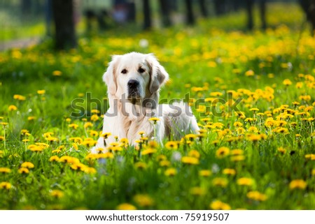 Happy Golden Retriever in flower field of yellow dandelions - stock photo