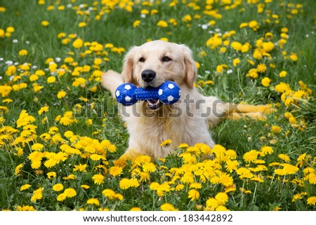 Happy golden retriever with toy - stock photo