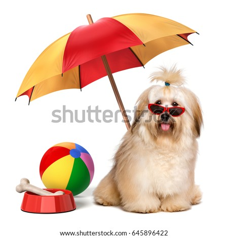 Happy Havanese dog is on summer holiday wearing a red sunglasses under a parasol -  isolated on a white background