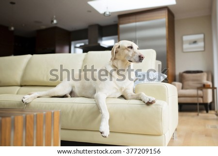 happy healthy yellow lab on couch