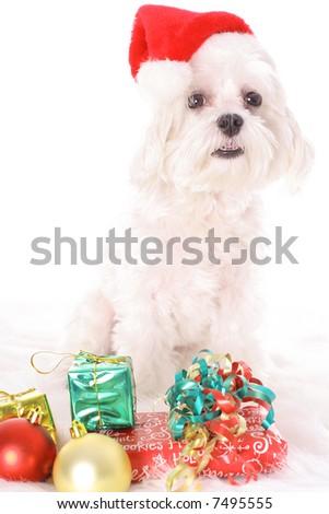Happy holiday santa maltese - stock photo