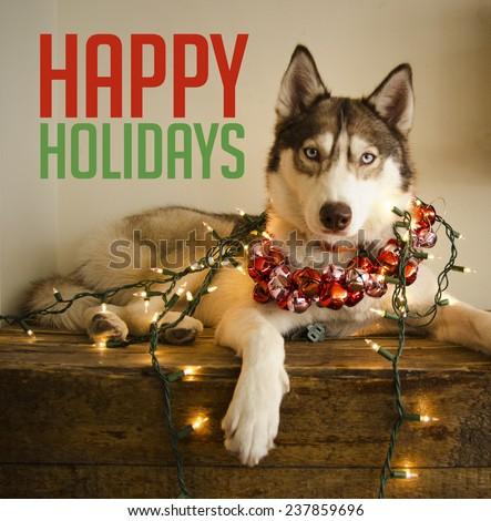 Happy Holidays from a siberian husky - stock photo