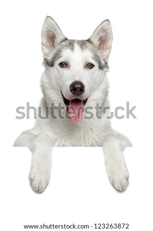 Happy husky dog portrait above white banner, isolated - stock photo