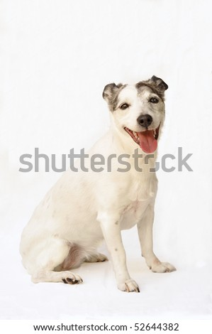 Happy Jack Russell Terrier