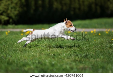 happy jack russell terrier dog running outdoors in summer - stock photo
