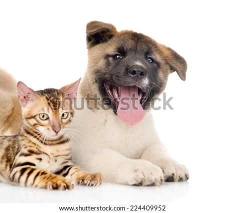 Happy Japanese Akita inu puppy dog lying with small bengal cat. isolated on white background