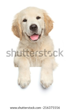 Happy Labrador retriever puppy above banner, isolated on white background - stock photo