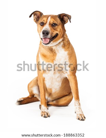 Happy large mixed breed dog sitting and looking at the camera with a smile on his face - stock photo