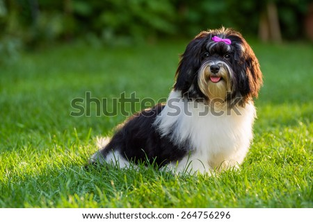 Happy little black and white havanese puppy dog is sitting in the grass