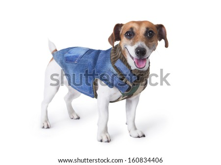 Happy little dog stands in the fashion denim coats and smiles. White background. studio shot - stock photo