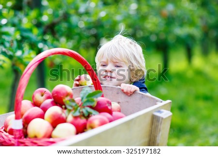 Happy little kid boy with picking and eating red apples in fruit orchard, outdoors. Child having fun with gardening and harvesting. Lifestyle, organic food, childhood concept. - stock photo