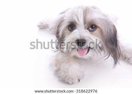Happy long haired puppy lying down and smiling at camera, isolated on white background - stock photo