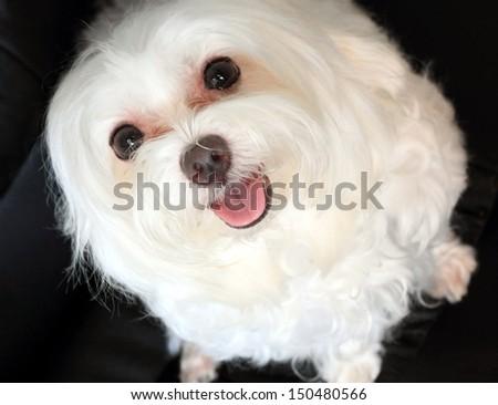 happy Maltese dog - stock photo
