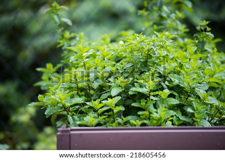 Happy Mint Herb Growing Outside in Wooden Vegetable bed - stock photo