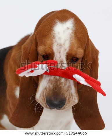 Happy New Year, Christmas Basset , isolated on white background