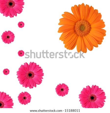 Happy pattern of blooming Daisy petals. - stock photo
