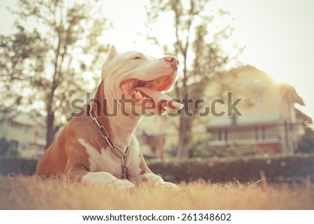 Happy  pitbull looking with tongue out - stock photo