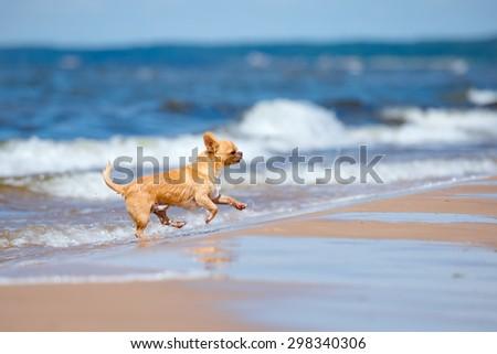 happy red chihuahua dog running on the beach - stock photo
