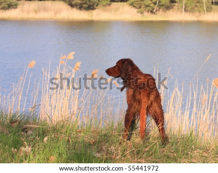 happy red dog stand  on river bank - stock photo