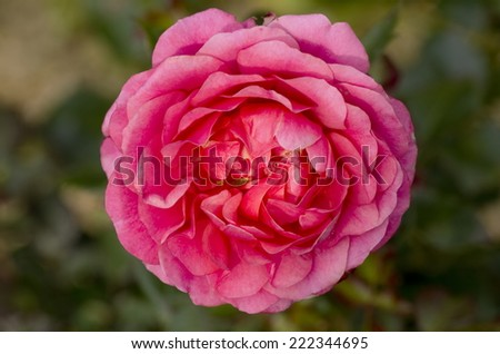 Happy retirement rose image rose called stock photo royalty free happy retirement rose image of the rose called happy retirement a beautiful pink color popular mightylinksfo