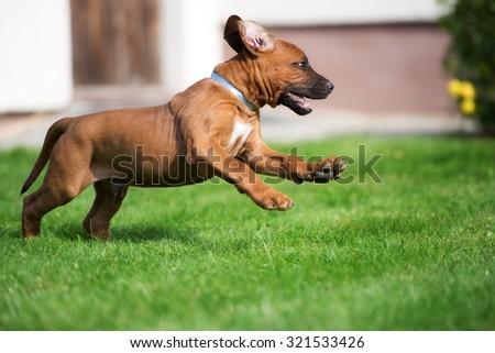 happy ridgeback puppy running on grass - stock photo