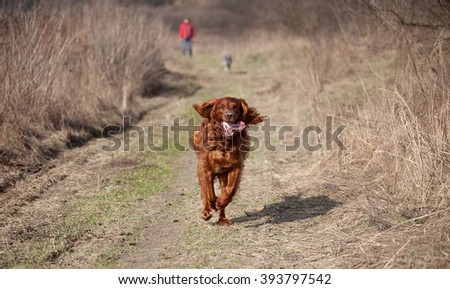 Happy setter dog for a walk    - stock photo