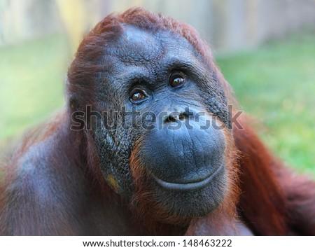 Happy smile of The Bornean orangutan (Pongo pygmaeus).  - stock photo