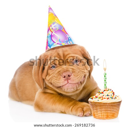 Happy smiling Bordeaux puppy dog with birthday hat and cake. isolated on white background - stock photo