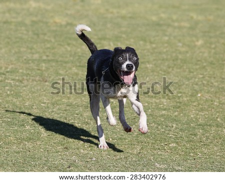 Happy, smiling whippet running - stock photo